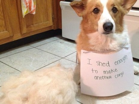 Pet Shedding Corgi